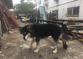 寻狗启示,深圳龙华大浪华宁附近捡到阿拉斯加,它是一只非常可爱的宠物狗狗,希望它早日回家,不要变成流浪狗。