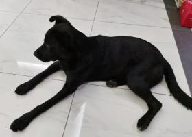 寻狗启示,望京花园捡到一条黑色狗狗,它是一只非常可爱的宠物狗狗,希望它早日回家,不要变成流浪狗。