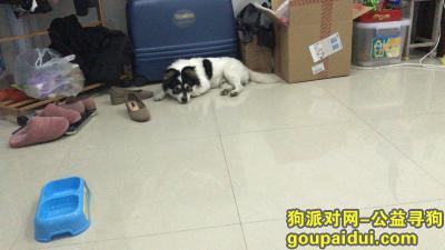 泉州寻狗,在泉州青阳丢失 望大家看到联系我,它是一只非常可爱的宠物狗狗,希望它早日回家,不要变成流浪狗。