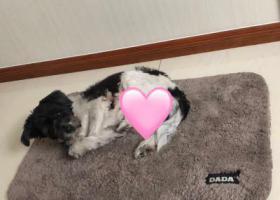 寻狗启示,养了13年的狗走失,望大家帮忙寻找,它是一只非常可爱的宠物狗狗,希望它早日回家,不要变成流浪狗。