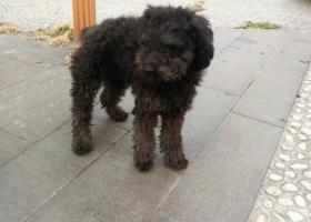 寻狗启示,小区内发现黑色泰迪,疑似走丢。,它是一只非常可爱的宠物狗狗,希望它早日回家,不要变成流浪狗。