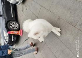 寻狗启示,寻找白色萨摩耶的主人,急急急!!,它是一只非常可爱的宠物狗狗,希望它早日回家,不要变成流浪狗。