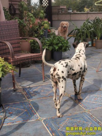 长沙寻狗主人,长沙捡到了一只斑点狗,找主人!,它是一只非常可爱的宠物狗狗,希望它早日回家,不要变成流浪狗。
