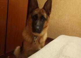 寻狗启示,寻狗启示。    德牧在晋安区丢失,它是一只非常可爱的宠物狗狗,希望它早日回家,不要变成流浪狗。