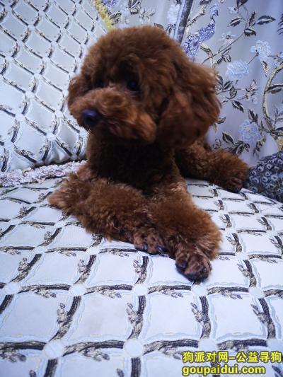 泸州寻狗网,2019年11月在泸州长江现代城附近捡到泰迪,它是一只非常可爱的宠物狗狗,希望它早日回家,不要变成流浪狗。
