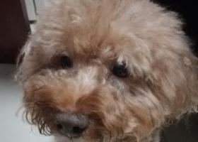 求助好心人,帮我找狗狗 泰迪犬