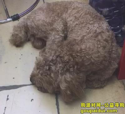 义乌找狗,寻狗启示 找贵宾泰迪一只 中等大小,它是一只非常可爱的宠物狗狗,希望它早日回家,不要变成流浪狗。