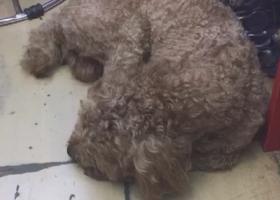 寻狗启示 找贵宾泰迪一只 中等大小