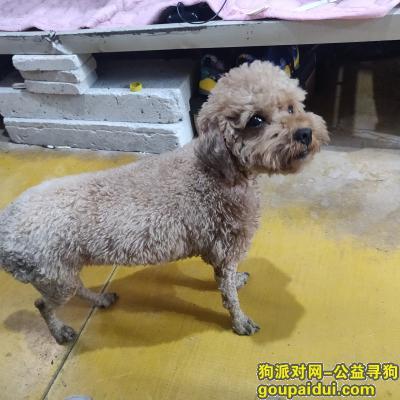,深圳福田辛诚花园附近走失泰迪,它是一只非常可爱的宠物狗狗,希望它早日回家,不要变成流浪狗。