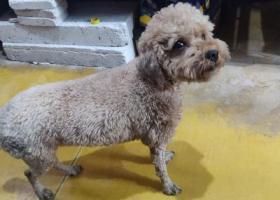 寻狗启示,深圳福田辛诚花园附近走失泰迪,它是一只非常可爱的宠物狗狗,希望它早日回家,不要变成流浪狗。