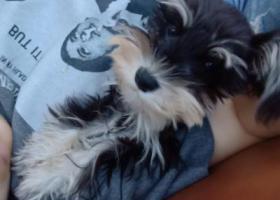 寻狗启示,小体黑色雪纳瑞,母。5斤。丢失,它是一只非常可爱的宠物狗狗,希望它早日回家,不要变成流浪狗。
