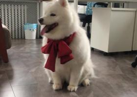 寻狗启示,寻找11月1日密云河南寨镇附近走丢的萨摩耶犬,它是一只非常可爱的宠物狗狗,希望它早日回家,不要变成流浪狗。