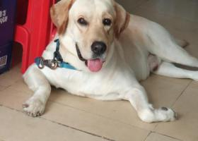 寻狗启示,寻找拉布拉多公犬 深圳南联,它是一只非常可爱的宠物狗狗,希望它早日回家,不要变成流浪狗。