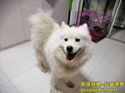 ,捡到萨摩耶狗找狗主人,它是一只非常可爱的宠物狗狗,希望它早日回家,不要变成流浪狗。