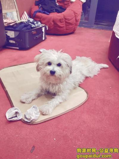 ,阳江寻找白色多毛狗狗,它是一只非常可爱的宠物狗狗,希望它早日回家,不要变成流浪狗。