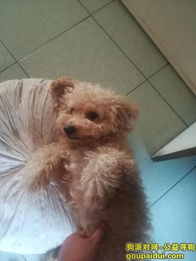 厦门找狗,寻找我的爱犬(杂交品种),它是一只非常可爱的宠物狗狗,希望它早日回家,不要变成流浪狗。