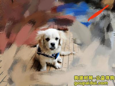 东莞找狗主人,企石镇捡到白色巴京一只联系我15015255890,它是一只非常可爱的宠物狗狗,希望它早日回家,不要变成流浪狗。