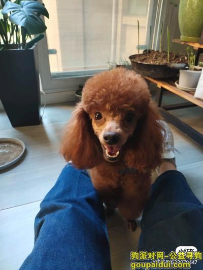 乐山寻狗网,泰迪公狗2岁中心城丢,它是一只非常可爱的宠物狗狗,希望它早日回家,不要变成流浪狗。