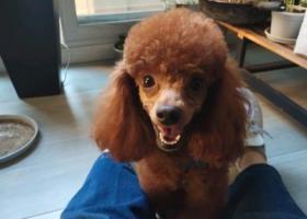 寻狗启示,泰迪公狗2岁中心城丢,它是一只非常可爱的宠物狗狗,希望它早日回家,不要变成流浪狗。