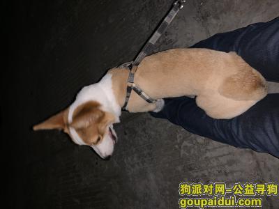 南通寻狗,南通中南附近寻找七八月大的柯基,它是一只非常可爱的宠物狗狗,希望它早日回家,不要变成流浪狗。