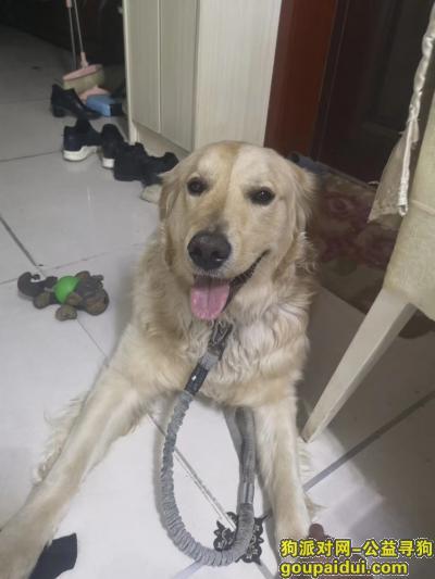 运城寻狗启示,金毛公狗,两岁,好心人帮我关注一下,感谢,它是一只非常可爱的宠物狗狗,希望它早日回家,不要变成流浪狗。