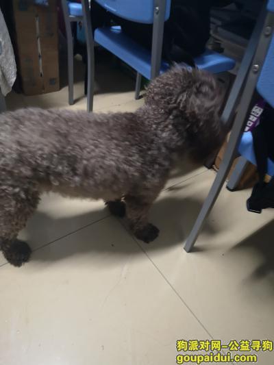 捡到狗,西安体育学院捡到深棕偏灰泰迪,捡到时无项圈,它是一只非常可爱的宠物狗狗,希望它早日回家,不要变成流浪狗。