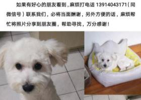 """寻狗启示,寻狗启示,我家比熊""""弟弟""""苏州三香路附近丢失,它是一只非常可爱的宠物狗狗,希望它早日回家,不要变成流浪狗。"""