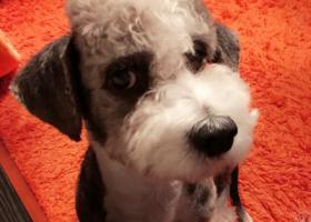 寻狗启示,.-北京市-西城区-新街口-雪纳瑞串串-.,它是一只非常可爱的宠物狗狗,希望它早日回家,不要变成流浪狗。