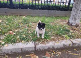 寻狗启示,顺义区捡到一只可爱的小狗狗,看到好可怜,求领养,它是一只非常可爱的宠物狗狗,希望它早日回家,不要变成流浪狗。