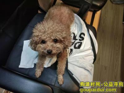 桂林寻狗,寻找爱狗泰迪母狗奥丽,它是一只非常可爱的宠物狗狗,希望它早日回家,不要变成流浪狗。