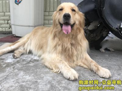 乐清寻狗网,公金毛 三岁 浅黄色 舌头上有一块黑点,它是一只非常可爱的宠物狗狗,希望它早日回家,不要变成流浪狗。