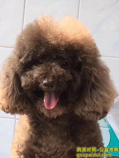 ,找狗!泰迪!重金答谢!,它是一只非常可爱的宠物狗狗,希望它早日回家,不要变成流浪狗。