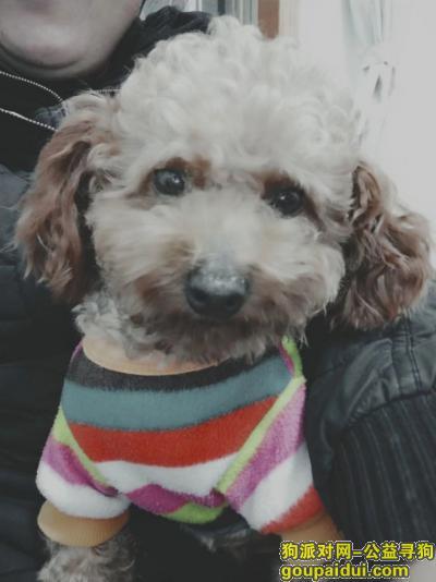 扬州寻狗启示,紧急寻找爱犬男宝泰迪,它是一只非常可爱的宠物狗狗,希望它早日回家,不要变成流浪狗。