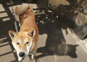 寻狗启示,在常德天源鑫城附近捡到一条中华田园犬,它是一只非常可爱的宠物狗狗,希望它早日回家,不要变成流浪狗。