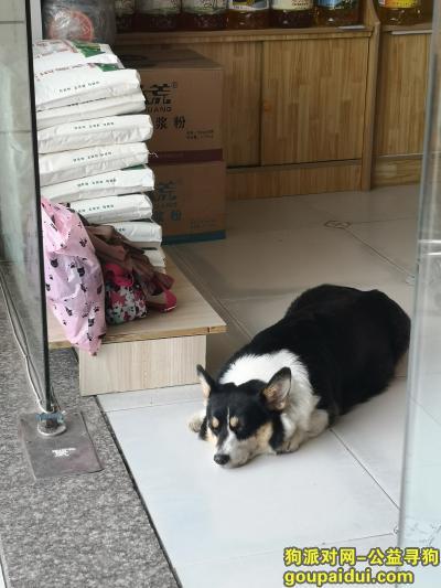 开封寻狗网,望开封好心人帮忙寻回爱犬,它是一只非常可爱的宠物狗狗,希望它早日回家,不要变成流浪狗。