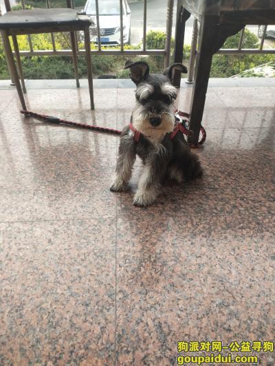 杭州寻狗主人,雪纳瑞寻找主人,谁家走丢的赶紧带小可爱回家。。。。。。,它是一只非常可爱的宠物狗狗,希望它早日回家,不要变成流浪狗。