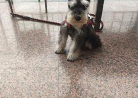 寻狗启示,雪纳瑞寻找主人,谁家走丢的赶紧带小可爱回家。。。。。。,它是一只非常可爱的宠物狗狗,希望它早日回家,不要变成流浪狗。