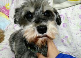 寻狗启示,上海天山路遵义路附近找雪耐瑞妹妹,它是一只非常可爱的宠物狗狗,希望它早日回家,不要变成流浪狗。