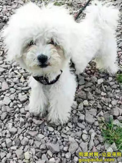 义乌寻狗启示,2019年11月13日义乌江东孔村丢失比熊,它是一只非常可爱的宠物狗狗,希望它早日回家,不要变成流浪狗。