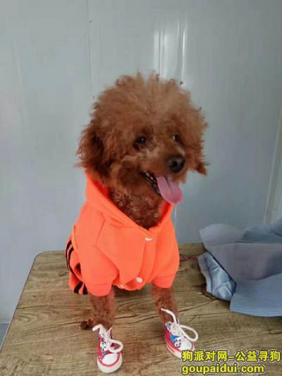 唐山寻狗网,寻泰迪狗狗启示,希望好心人看到或者捡到联系18303159493,,它是一只非常可爱的宠物狗狗,希望它早日回家,不要变成流浪狗。