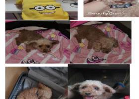 寻狗启示,泰迪狗本人手机号:13809836019,它是一只非常可爱的宠物狗狗,希望它早日回家,不要变成流浪狗。