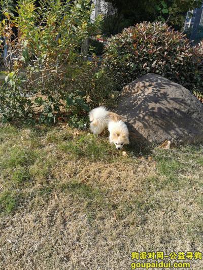 无锡捡到狗,无锡新吴区捡到可爱小狗一只,它是一只非常可爱的宠物狗狗,希望它早日回家,不要变成流浪狗。