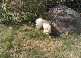 寻狗启示,无锡新吴区捡到可爱小狗一只,它是一只非常可爱的宠物狗狗,希望它早日回家,不要变成流浪狗。