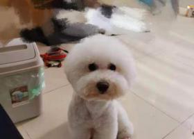 寻狗启示,重金找白色比熊弟弟,花都颐和盛世,佛山官窑附近,它是一只非常可爱的宠物狗狗,希望它早日回家,不要变成流浪狗。