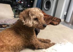 寻狗启示,尾随我进家的串串小型狗,它是一只非常可爱的宠物狗狗,希望它早日回家,不要变成流浪狗。