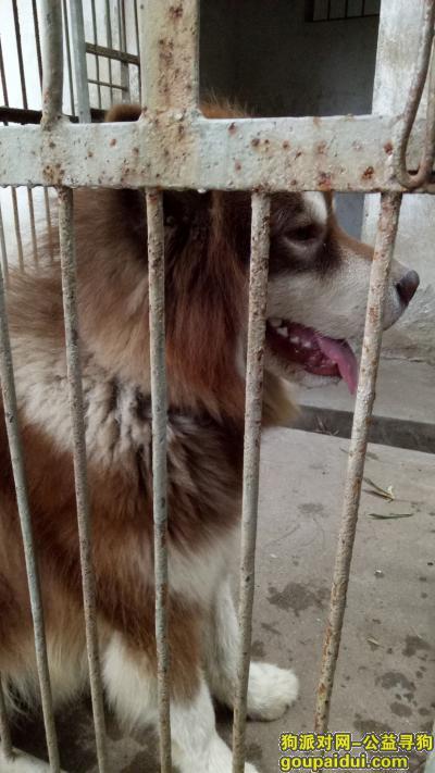 赣州找狗,赣州市沙石镇附近捡到一条大型犬,它是一只非常可爱的宠物狗狗,希望它早日回家,不要变成流浪狗。