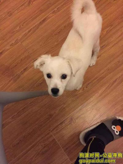 ,西湖公园入口附近捡到一条纯白色小公狗,它是一只非常可爱的宠物狗狗,希望它早日回家,不要变成流浪狗。