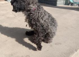 寻狗启示,这只泰迪是我在高速上捡到的,身上有狗狗休息牌,它是一只非常可爱的宠物狗狗,希望它早日回家,不要变成流浪狗。
