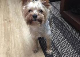 寻狗启示,吴江鲈乡北路5000走丢一只约克夏,它是一只非常可爱的宠物狗狗,希望它早日回家,不要变成流浪狗。