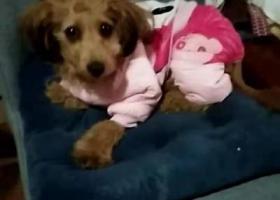 寻狗启示,爱犬于2019年11月17日晚18点多在宁波市慈溪市横河镇中兴西路152号农贸菜市场附近走失,它是一只非常可爱的宠物狗狗,希望它早日回家,不要变成流浪狗。